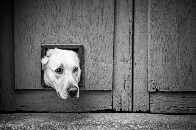 Hundekopf durch die Katzenklappe - schwarz u. weiß lizenzfreie stockfotografie
