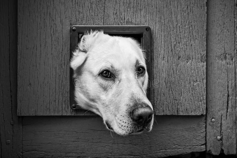 Hundekopf durch die Katzenklappe - schwarz u. weiß lizenzfreies stockbild