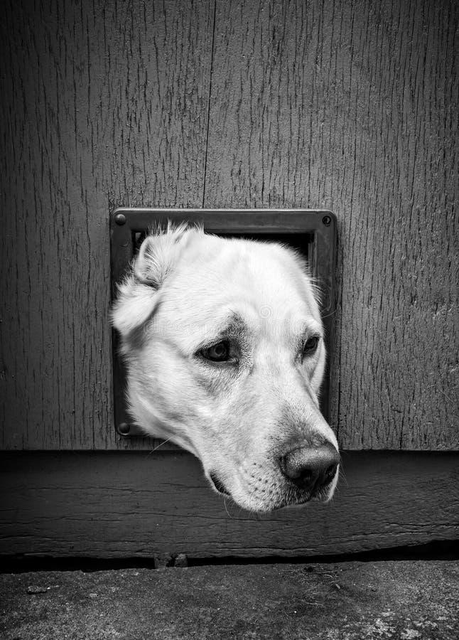Hundekopf durch die Katzenklappe - schwarz u. weiß stockfoto