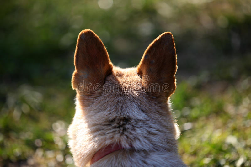 Hundekopf mit den schwarzen Ohren von der Rückseite lizenzfreie stockfotos