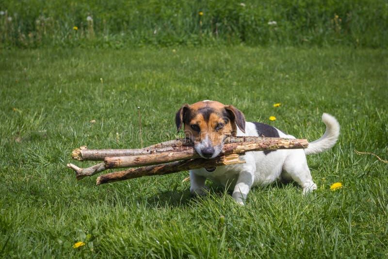 Hunden bär vedträ till och med ängen fotografering för bildbyråer