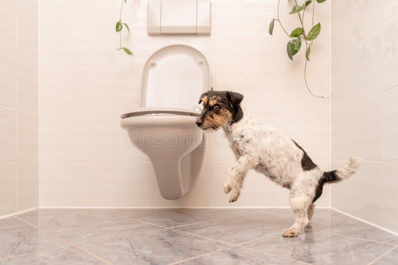 Hunden dansar på toaletten - Jack Russell Terrier royaltyfria foton