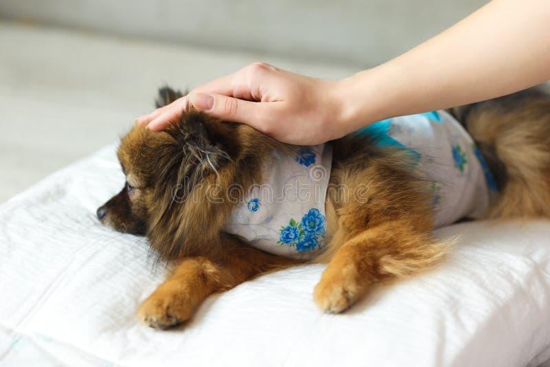Hunden efter kirurgil?gner p? en mjuk kudde med handen av lyxfnasket p? huvudet hunden vaknar upp efter anestesi royaltyfri bild