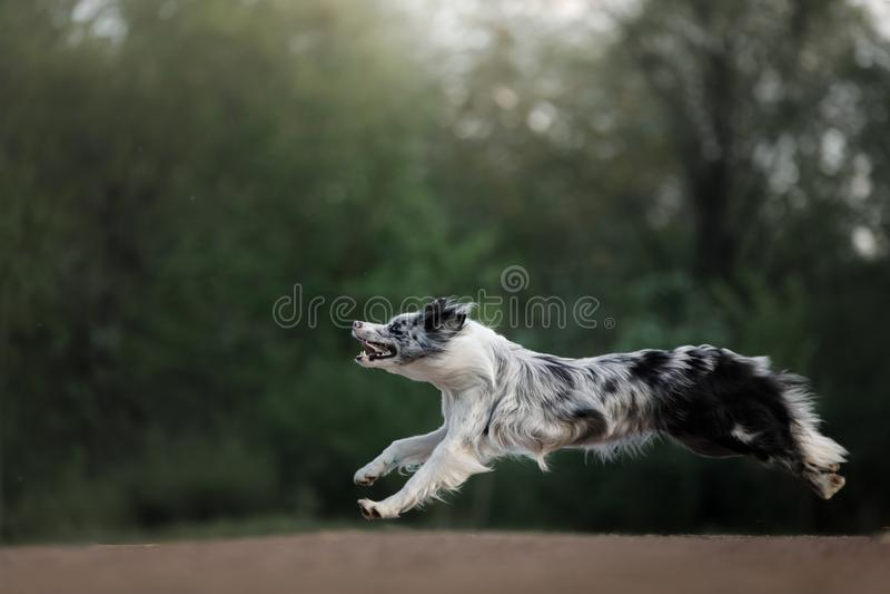Hunden fångar disketten Sportar med husdjuret Aktiva Border collie arkivbild