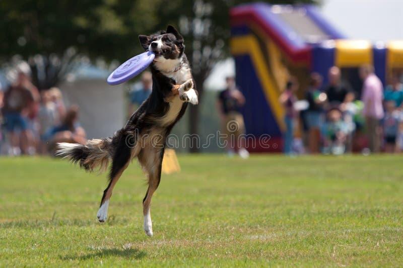 Hunden fångar frisbeen och hänger på royaltyfri foto