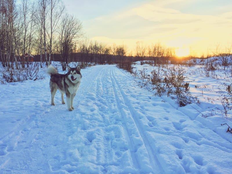 Hunden för den alaskabo malamuten står i snöfältet arkivbilder