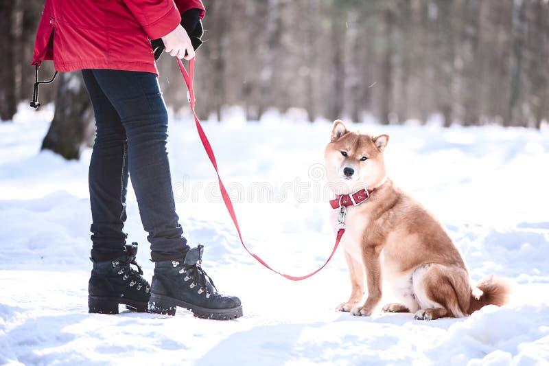 Hunden för den Shiba inuaveln spelar med en flicka, drev för en flicka en hund, på a royaltyfria foton