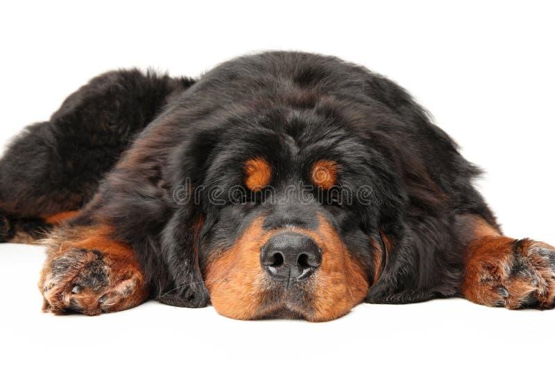 Hunden för den tibetana mastiffen sover arkivfoto