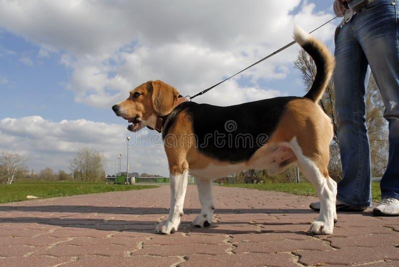 hunden går arkivbilder