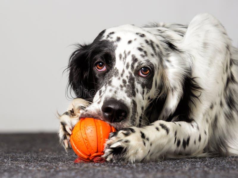 Hunden gnag leksaken royaltyfri fotografi