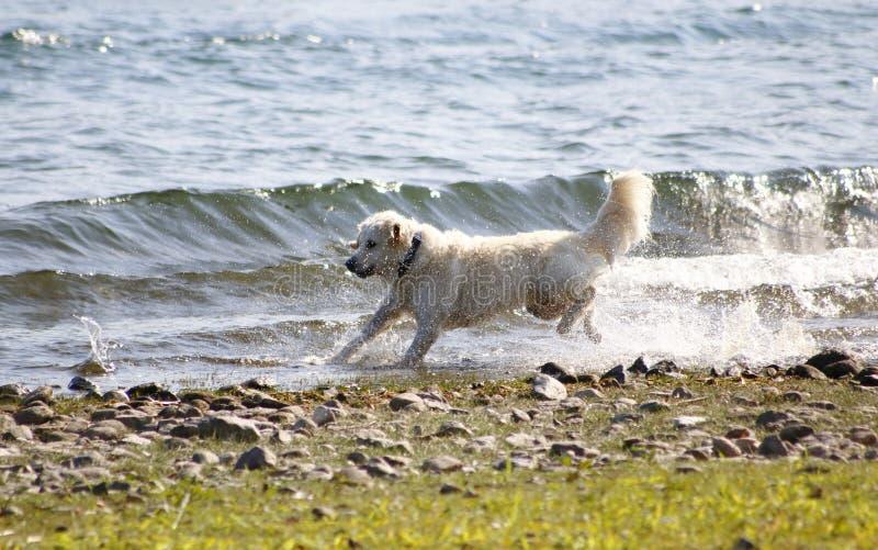 Hunden guld- Redriver hoppar i vattnet, på kusten av sjön, omkring och tycker om vattendropparna, färgstänk royaltyfri foto