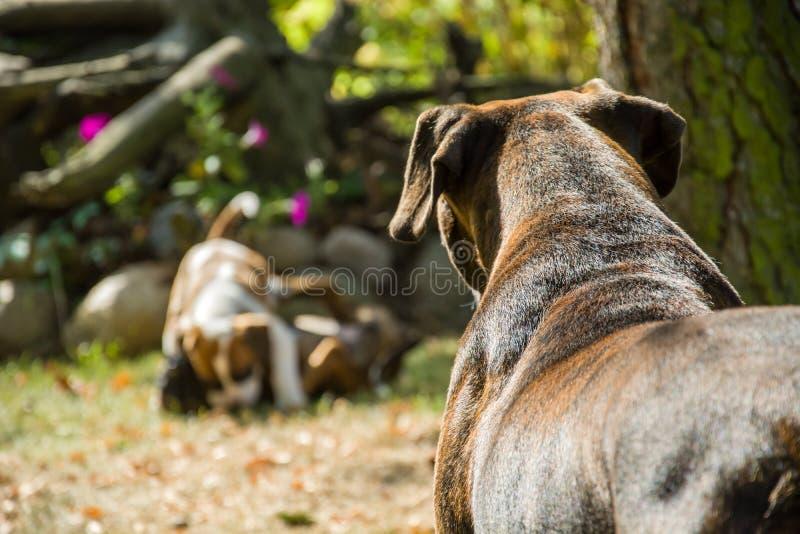 Hunden håller ögonen på gyckeln av hennes valpar royaltyfri bild