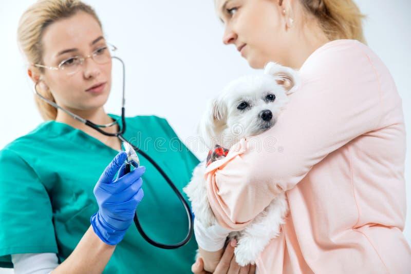 Hunden holded av ägaren undersöks av veterinären royaltyfri bild