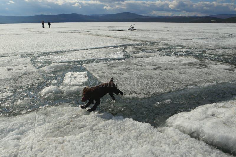 Hunden hoppar från lejonen till isen under isdrivan på sjön royaltyfri bild