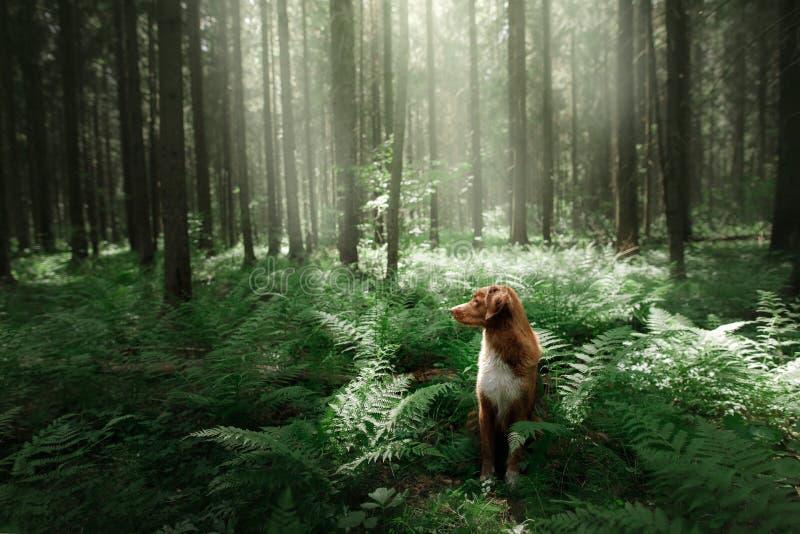 Hunden i skogen sitter i en ormbunke Husdjur på naturen Toller royaltyfri foto