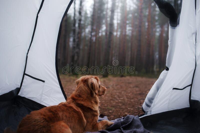 Hunden i tältet Tolling apportör för Nova Scotia and i cet royaltyfri bild