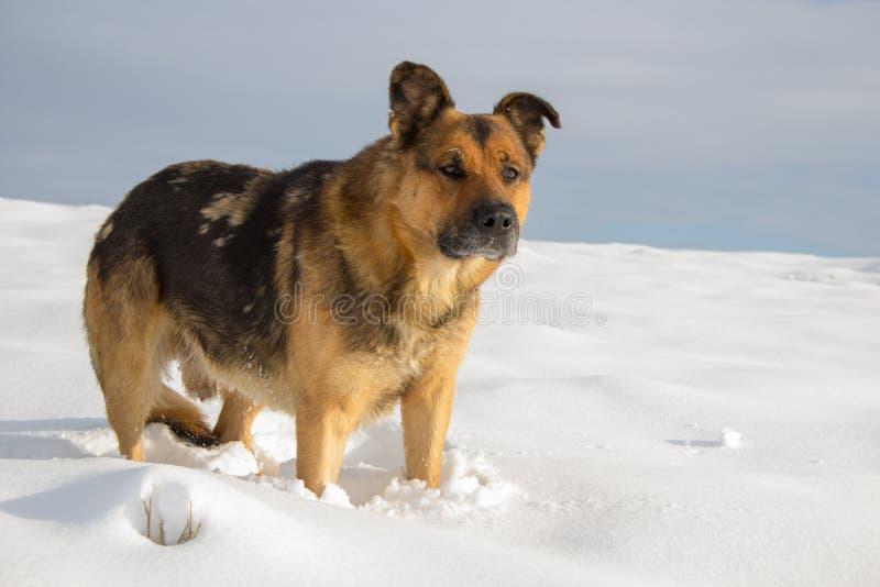 Hunden i vintern i snön, den tyska herden står i det insnöat fältet arkivbilder