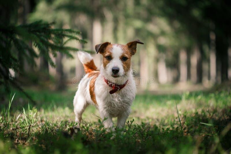 Hunden Jack Russell Terrier går på naturen royaltyfri foto