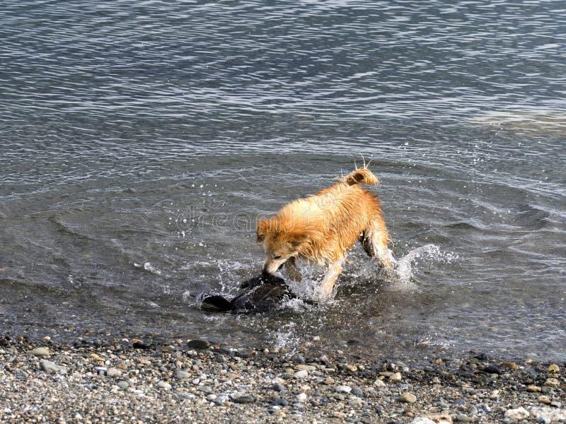 Hunden jagar den unga imperialistiska kormoran, Punta Arenas, Patagonia, Chile arkivfoto