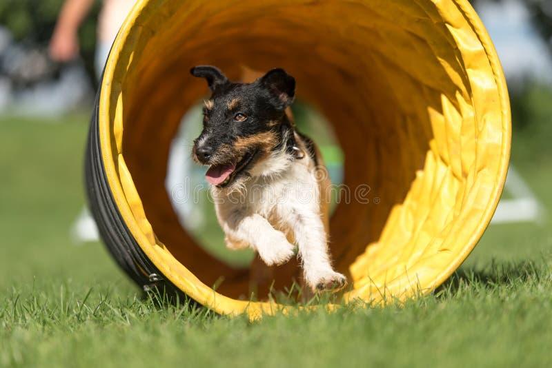 Hunden kör till och med en vighettunnel stålarrussell terrier arkivbild