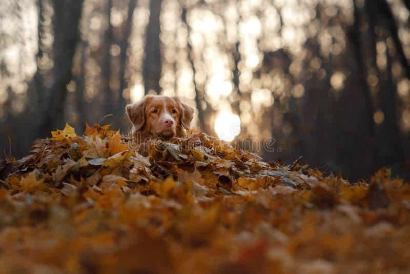 Hunden ligger i höstsidorna husdjur i parkera Toller i natur royaltyfria bilder