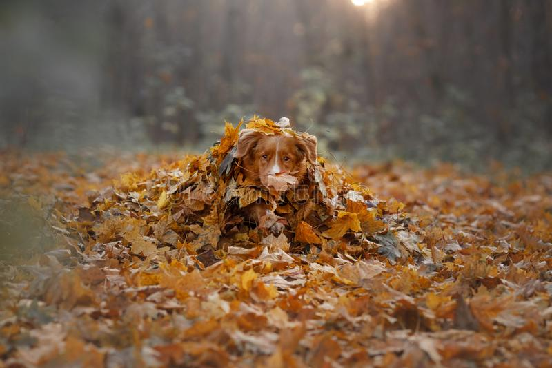 Hunden ligger i höstsidorna husdjur i parkera Toller i natur arkivbild