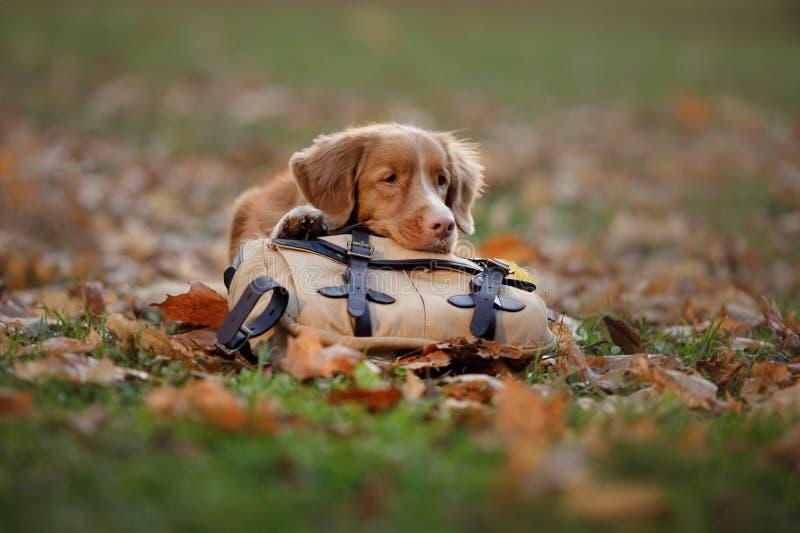 Hunden ligger på en påse i hösten parkerar Ledset husdjur resa Nova Scotia Duck Tolling Retriever Toller fotografering för bildbyråer