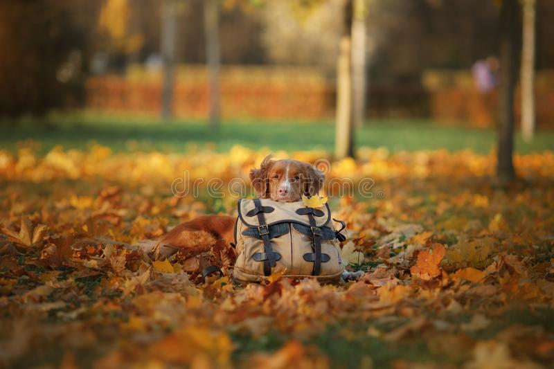 Hunden ligger på en påse i hösten parkerar Ledset husdjur resa Nova Scotia Duck Tolling Retriever Toller arkivfoton
