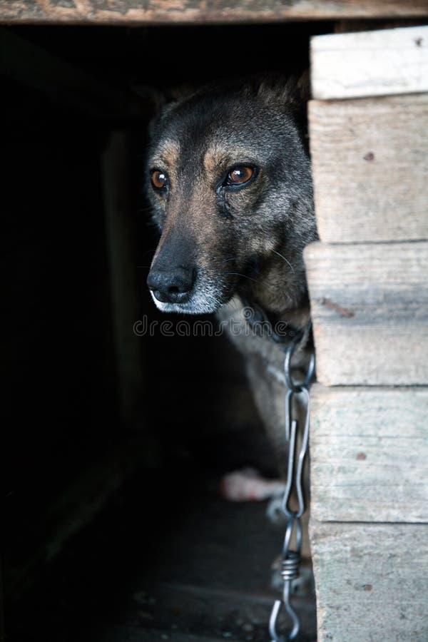 Hunden på kedjan kikar ut från båset arkivbilder