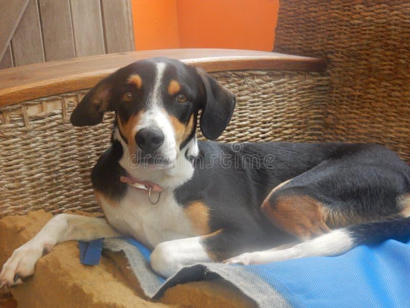 Hunden på soffan fotografering för bildbyråer