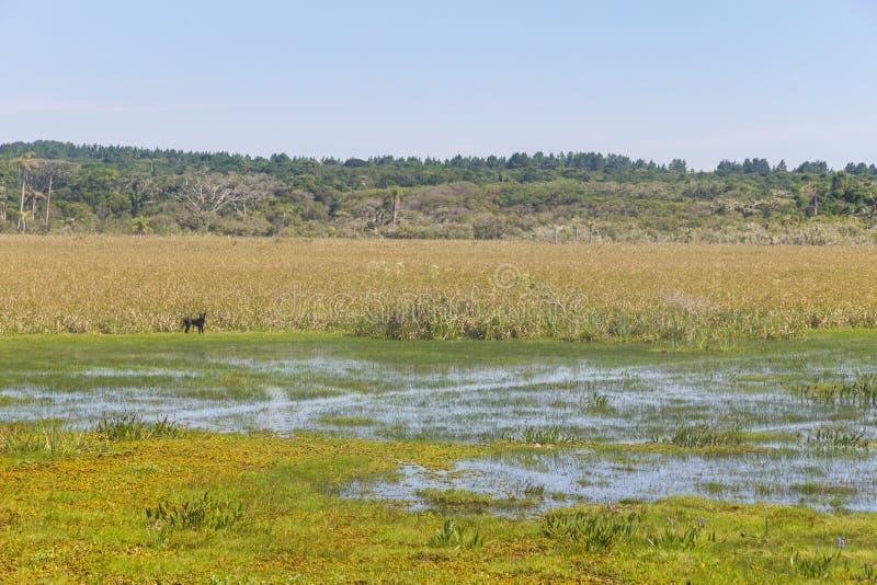 Hunden på träsket i Lagoa gör Peixe sjön royaltyfria bilder