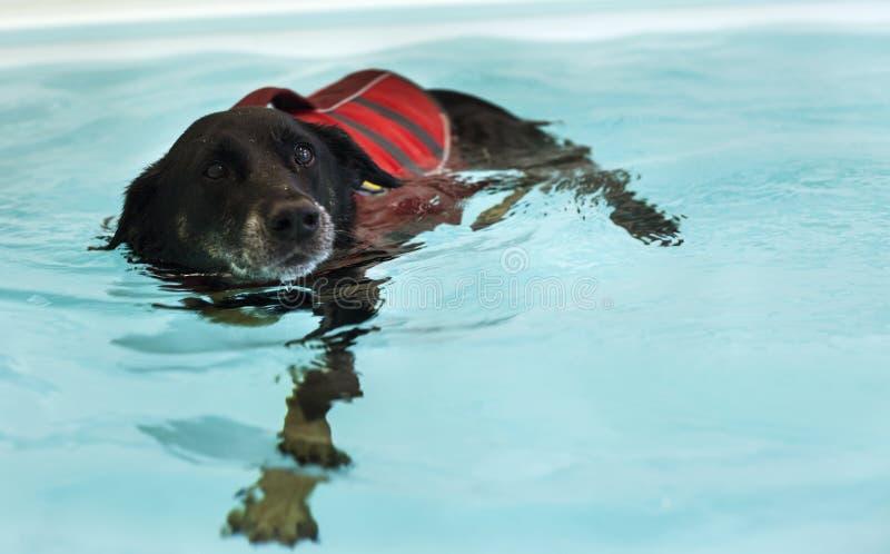Hunden simmar i simbassäng arkivbilder