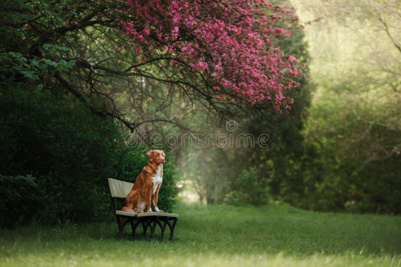 Hunden sitter på en bänk i parkera nära rosenträt arkivfoton