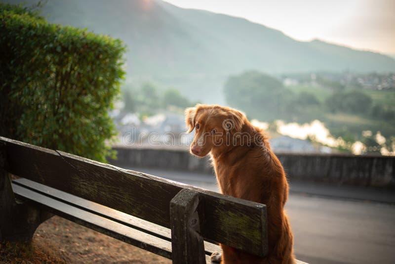 Hunden sitter på en bänk och blickar på gryningen röda Nova Scotia Duck Tolling Retriever, Toller i natur fotografering för bildbyråer