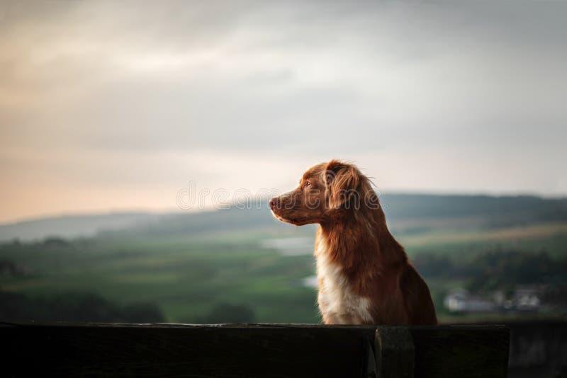 Hunden sitter på en bänk och blickar på gryningen röda Nova Scotia Duck Tolling Retriever, Toller i natur royaltyfri bild