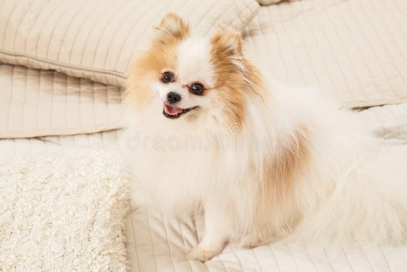 Hunden sitter på sängen fotografering för bildbyråer