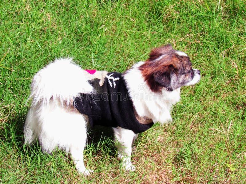 Hunden sket på en gräsmatta arkivbilder
