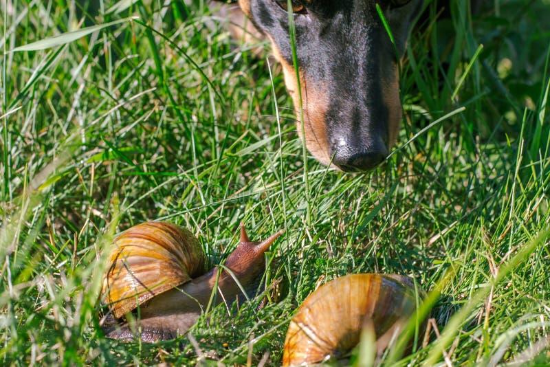 Hunden sniffar vuxna afrikanska achatinasniglar utomhus arkivbilder