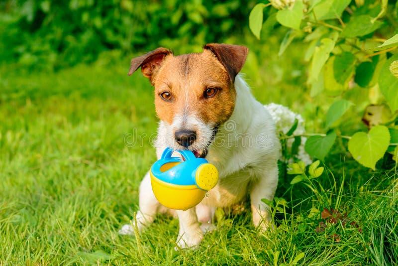 Hunden som arbetar som trädgårdsmästaren som bevattnar växter med att bevattna kan fotografering för bildbyråer