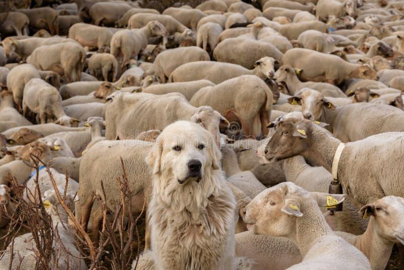 hunden som att bry sig får, flockas i mer syrlig El, Canillo, Andorra arkivbild