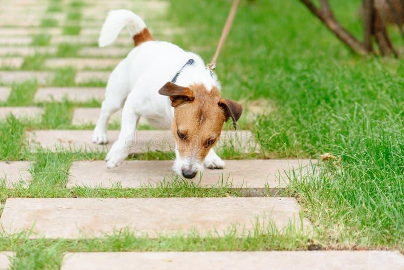 Hunden som drar koppeln, försöker att äta något från jordning royaltyfria foton