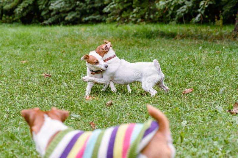 Hunden som ser annan hundkapplöpning som spelar och brottas på av-koppeln hörntanden, parkerar royaltyfri fotografi