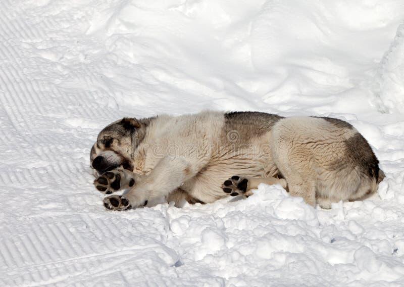 Hunden som sover på, skidar lutningen royaltyfria foton