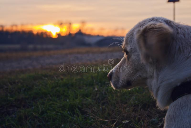 Hunden som tänker i solnedgången arkivfoto