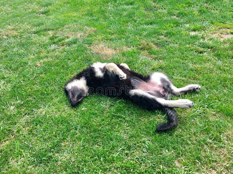 Hunden sover på dess baksida på gräs royaltyfri bild