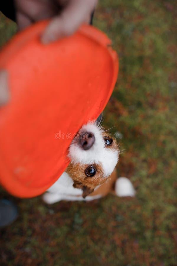 Hunden spelar Jack Russell Terrier som biter en leksak royaltyfria bilder