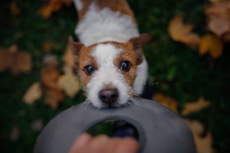 Hunden spelar med leksaken Jack Russell i parkera Gå med ditt husdjur arkivfoton