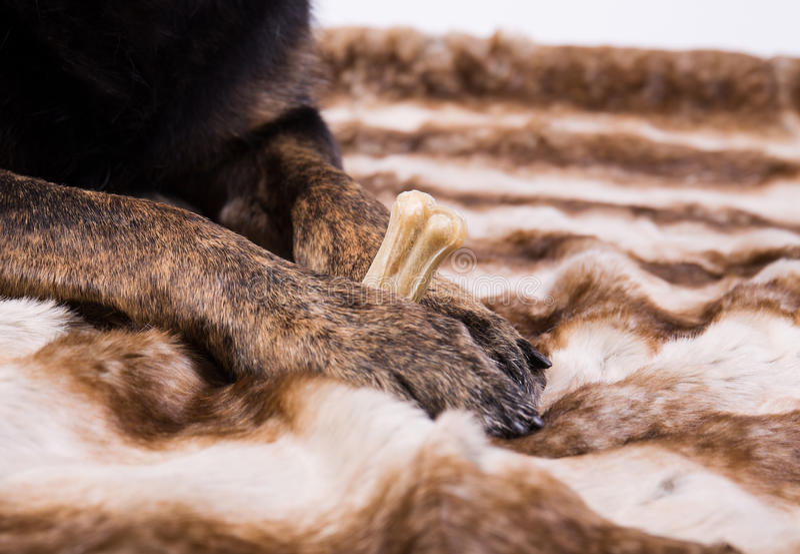 Hunden tafsar rymma ett ben royaltyfri bild