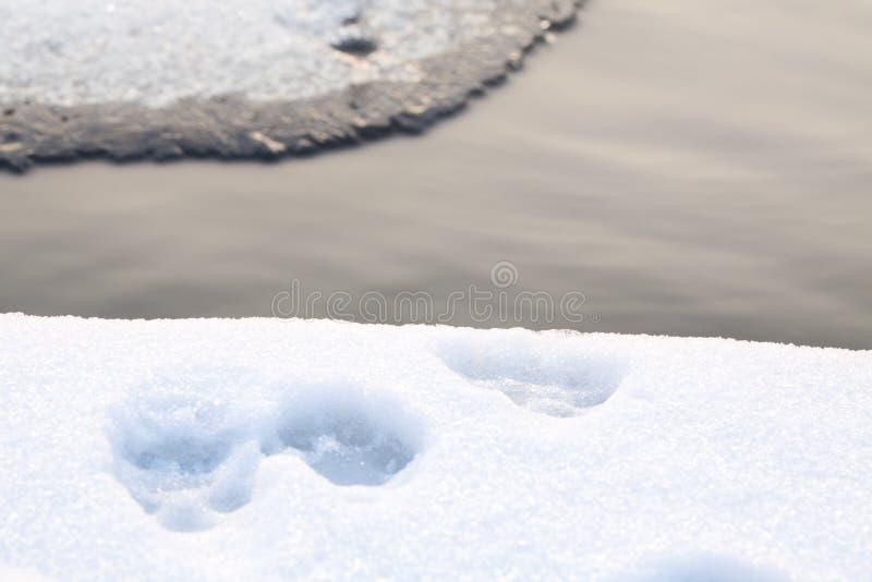 Hunden tafsar slingan i snö royaltyfri bild