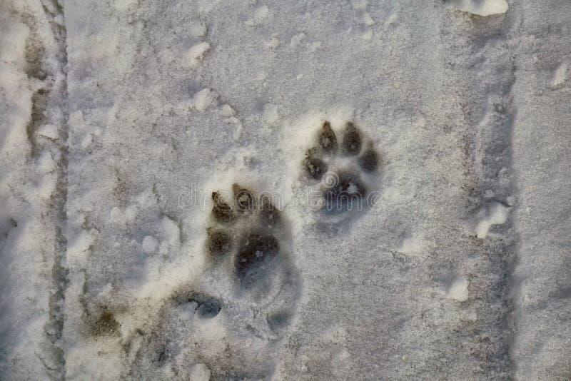 Hunden tafsar tryck på snön royaltyfria bilder